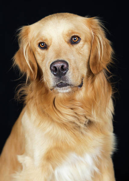 Wall Art - Photograph - Beautiful Golden Retriever Dog Closeup by Susan Schmitz