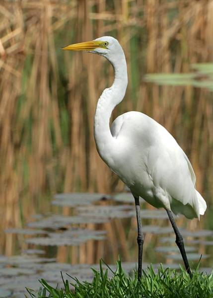 Photograph - Beautiful Great White Egret by Sabrina L Ryan