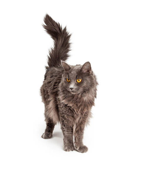 Long Hair Cat Photograph - Beautiful Grey Color Long Hair Cat by Susan Schmitz