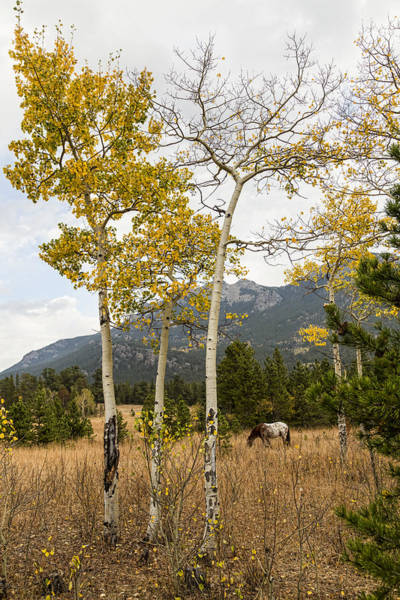 Photograph - Beautiful Horse Autumn Aspen Trees Grove Grazing by James BO Insogna