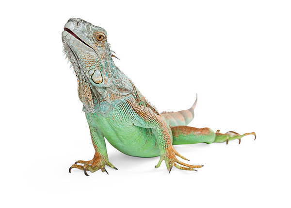 Cutout Wall Art - Photograph - Beautiful Iguana Lizard Isolated On White by Susan Schmitz