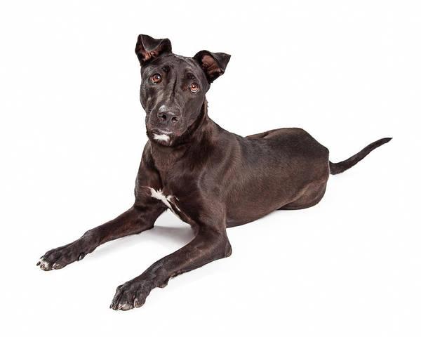Canine Photograph - Beautiful Large Labrador Retriever Crossbreed Dog by Susan Schmitz