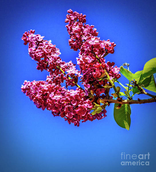 Bisexual Photograph - Beautiful Lilac by Robert Bales