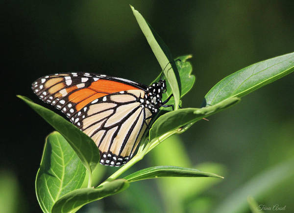 Photograph - Beautiful Monarch Butterfly by Trina Ansel