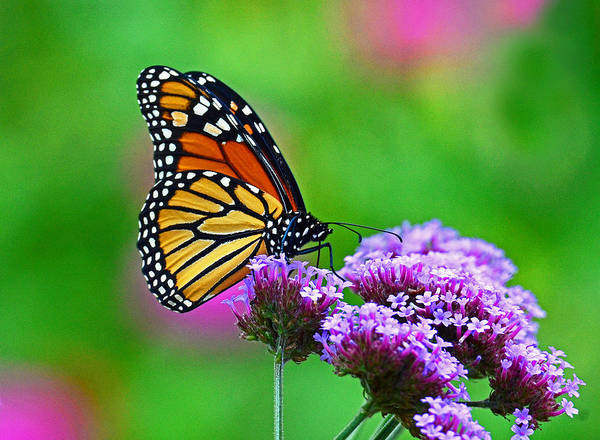 Photograph - Beautiful Monarch by Rodney Campbell