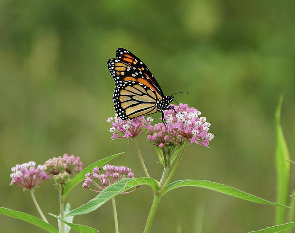 Photograph - Beautiful Monarch by Sandy Keeton