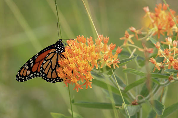 Photograph - Beautiful Monarch by Susan Rissi Tregoning