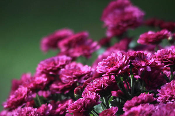 Photograph - Beautiful Mums by Trina Ansel