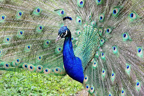 Photograph - Beautiful Peacock by Trina  Ansel