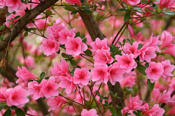 Muskogee Photograph - Beautiful Pink Azaleas by Carolyn Fletcher