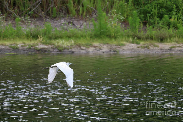 Little Blue Heron Photograph - Beautiful Pond With Juvenile Little Blue Heron by Carol Groenen