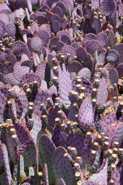 Photograph - Beautiful Purple Cactus by Carol Groenen