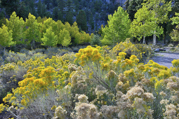 Photograph - Beautiful Rabbitbrush In Mt. Charleston Basin by Ray Mathis