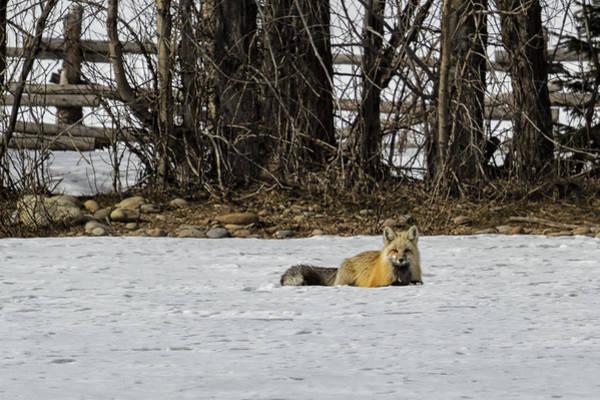 Photograph - Beautiful Red Fox - No. 3 by Belinda Greb