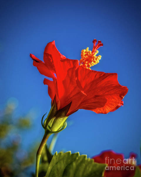 Wall Art - Photograph - Beautiful Red Hibiscus by Robert Bales