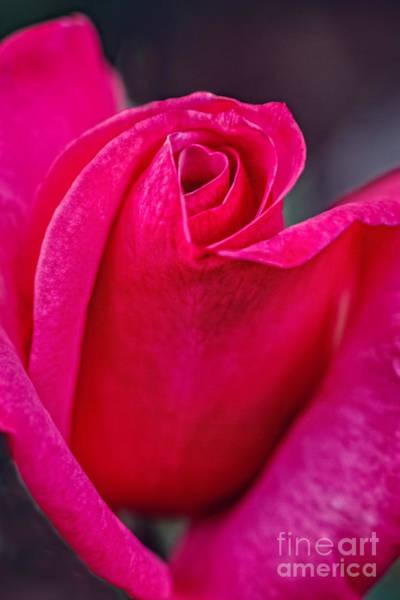 Beautiful Rose Bud Art Print