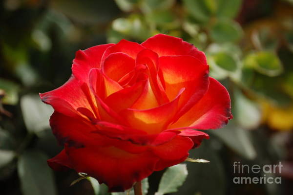 Photograph - Beautiful Rose by Frank Stallone
