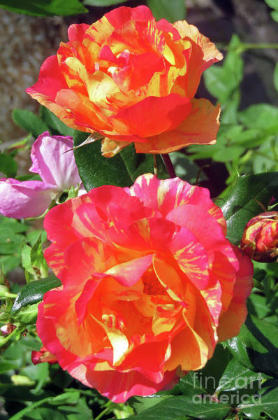 Photograph - Beautiful Roses by Cindy Murphy - NightVisions