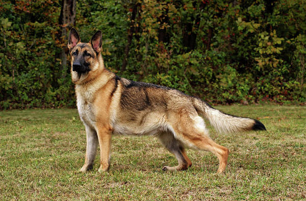 Photograph - Beautiful Sable German Shepherd by Sandy Keeton
