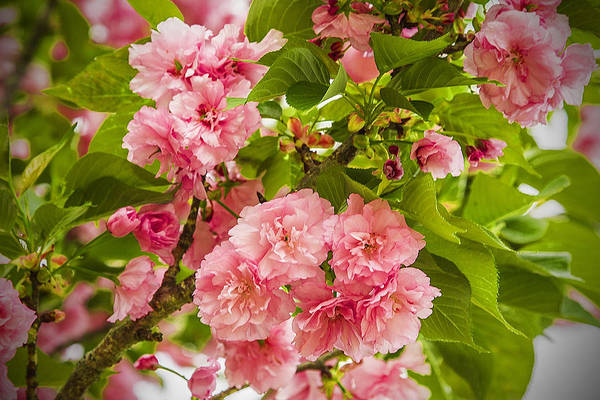 Photograph - Beautiful Spring Blossoms - Floral Landscape by Barry Jones