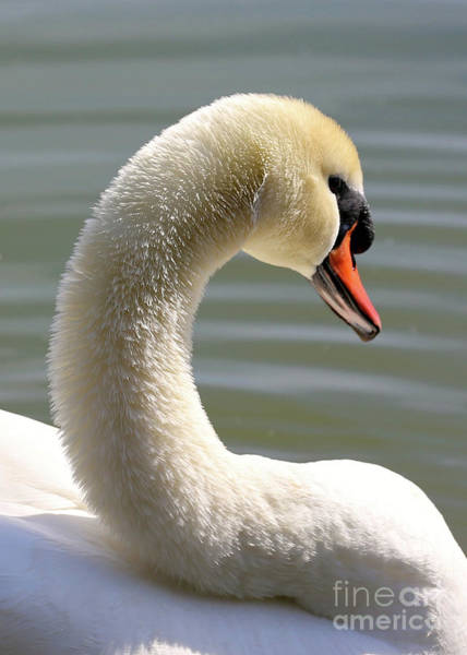 Swan Neck Photograph - Beautiful Swan Neck by Carol Groenen
