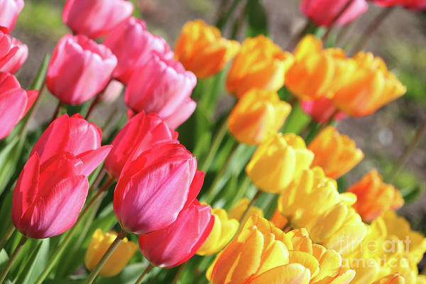 Photograph - Beautiful Tulips by Carol Groenen