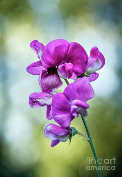 Wall Art - Photograph - Beautiful Vignetted Sweet Pea by Robert Bales