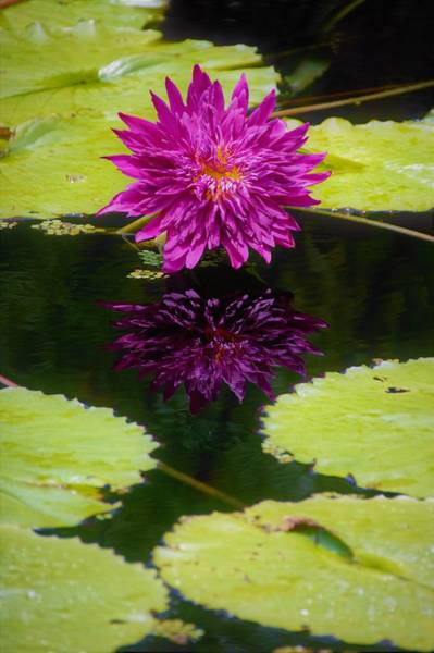 Claude Monet Photograph - Beautiful Water Lily With Reflection by Don Columbus