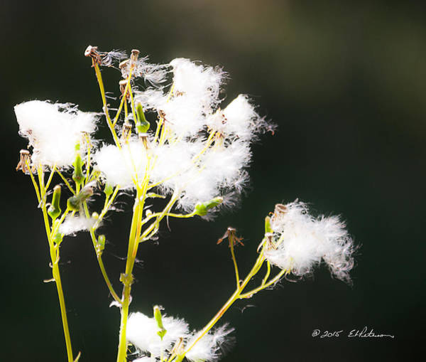Photograph - Beautiful Weed by Edward Peterson
