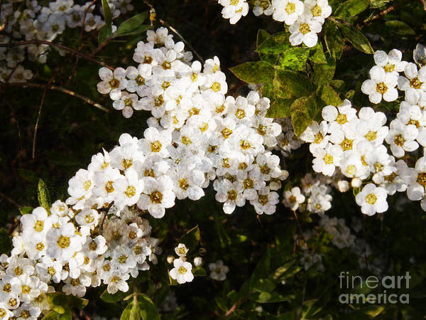 Photograph - Beautiful White Blossom by Brenda Kean