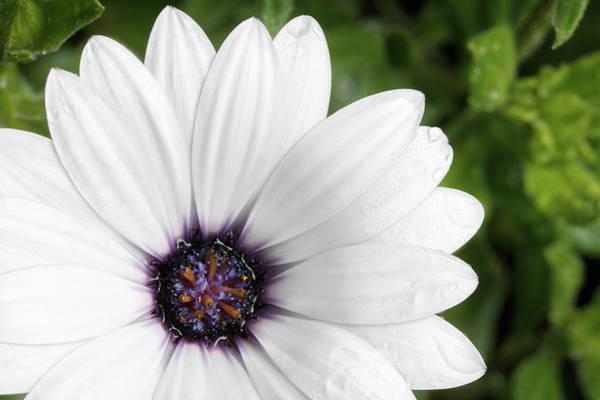 Photograph - Beautiful White Flowers With Raindrops by Sergey Taran