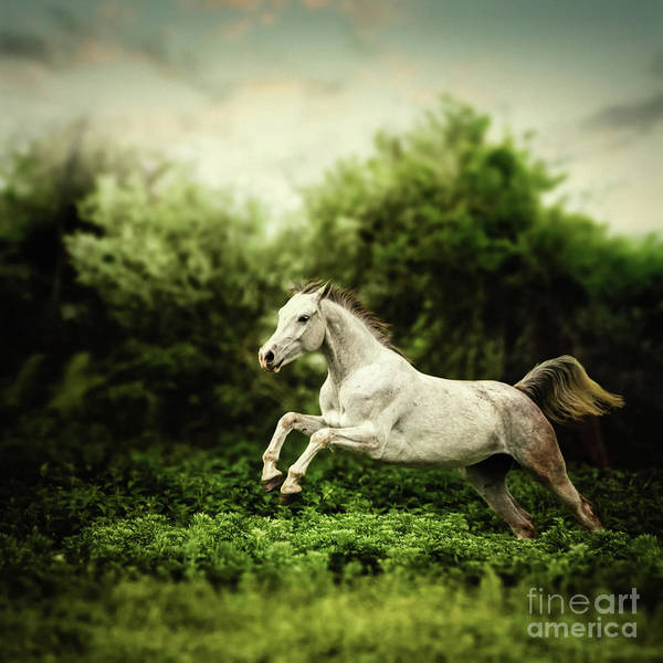 Photograph - Beautiful White Horse Jump On The Green Forest Background by Dimitar Hristov