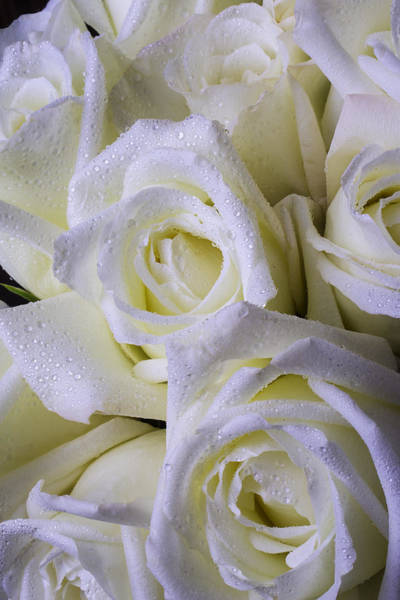 Wet Rose Wall Art - Photograph - Beautiful White Roses by Garry Gay