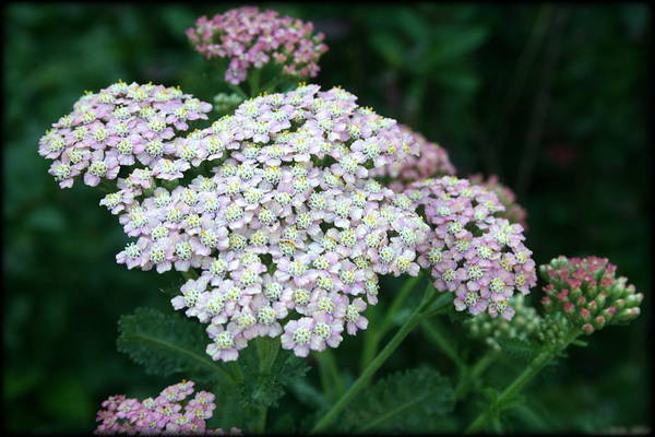 Photograph - Beautiful Yarrow Plant by Kay Novy