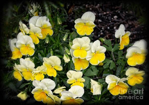 Wall Art - Photograph - Beautiful Yellow Pansies by Eva Thomas