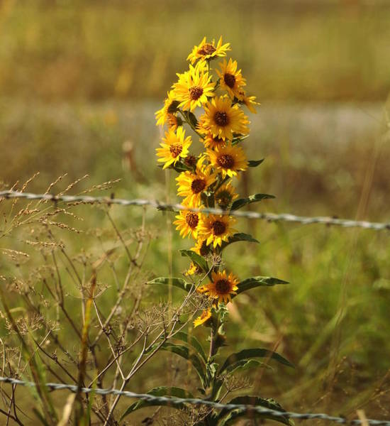 Photograph - Beauty Behind Barbed Wire by Sheila Brown