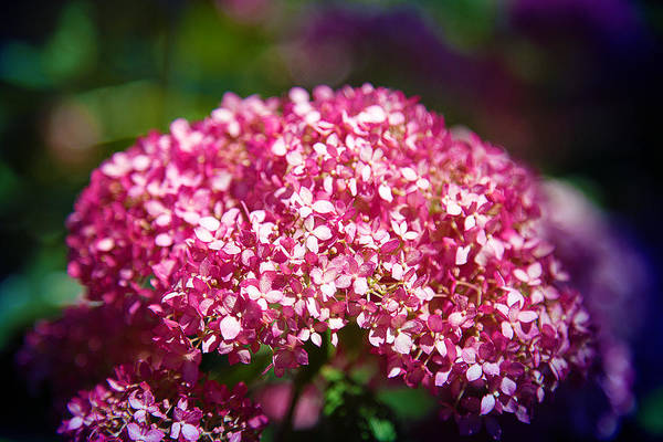 Photograph - Beauty In Pink by Milena Ilieva