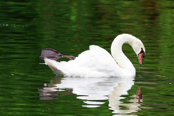 Photograph - Beauty Of A Swan's Reflection by Carol Montoya