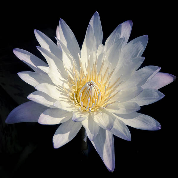 Photograph - Beauty Of A White Water Lily 2 by Julie Palencia