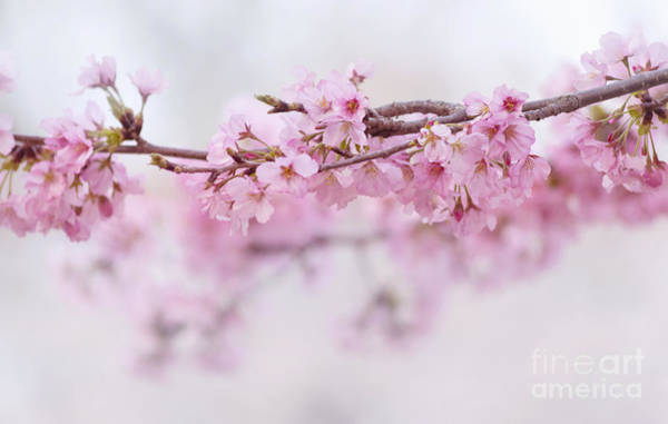 Photograph - Beauty Of Blossom by Rima Biswas