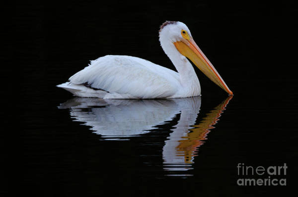 Wall Art - Photograph - Beauty Of Pelicans 1 by Bob Christopher