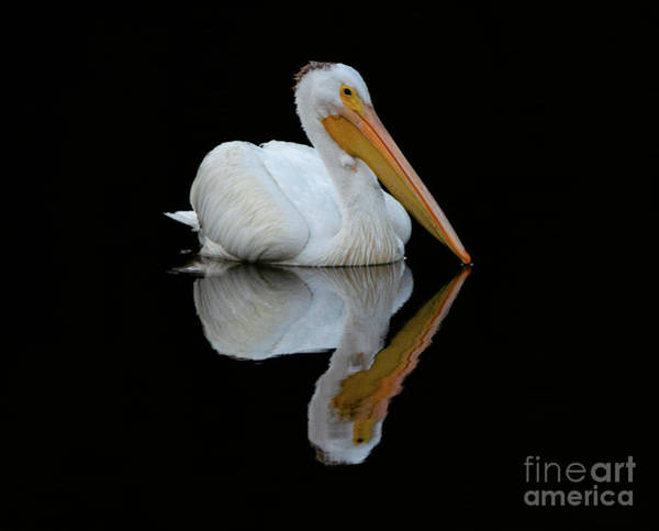 Wall Art - Photograph - Beauty Of Pelicans 2 by Bob Christopher