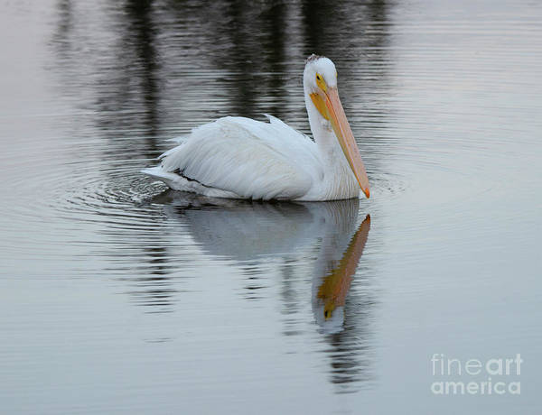 Wall Art - Photograph - Beauty Of Pelicans 4 by Bob Christopher