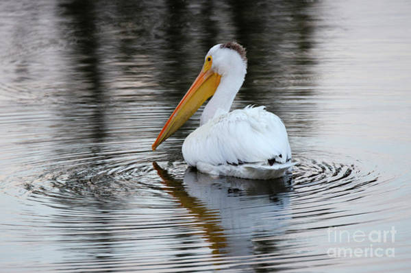 Wall Art - Photograph - Beauty Of Pelicans 5 by Bob Christopher