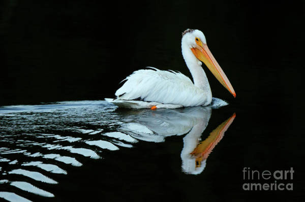 Wall Art - Photograph - Beauty Of Pelicans 6 by Bob Christopher