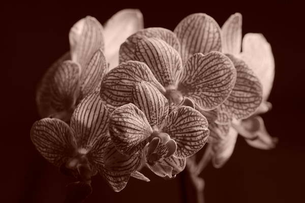 Photograph - Beauty Up Close 4 Sepia by Dimitry Papkov