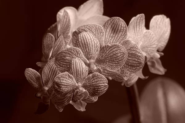 Photograph - Beauty Up Close 6 Sepia by Dimitry Papkov