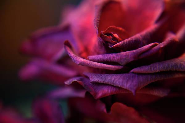 Photograph - Beauty's Rose by Theresa Tahara