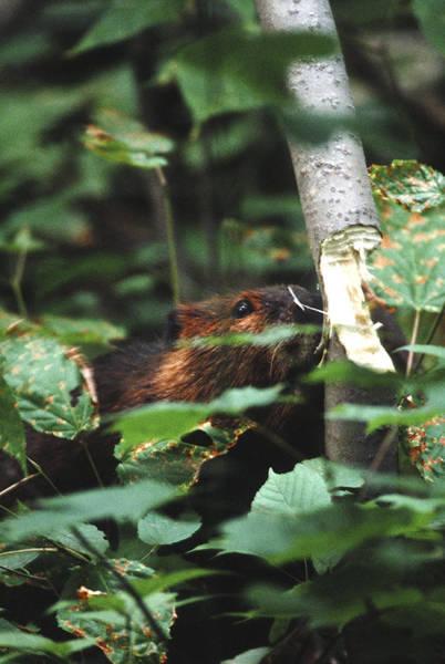 Photograph - Beaver And Poplar Tree by Steve Somerville