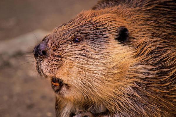 Photograph - Beaver by Don Johnson